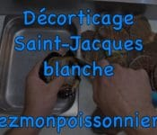 decorticage saint-jacques